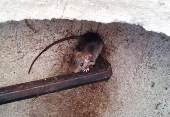 крысы-израиль