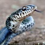 Услуги по отлову опасных животных, таких как змей, собак и кошек.