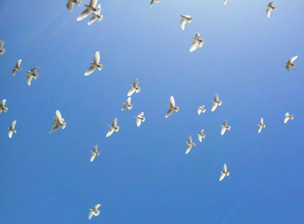 голуби_израиль