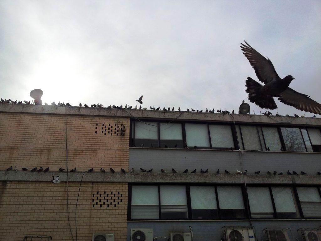 болезни-от-голубей