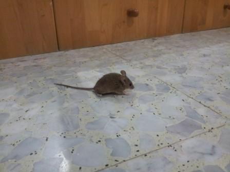 как-избавиться-от-мышей