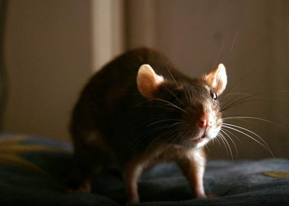 укусы-крыс-израиль