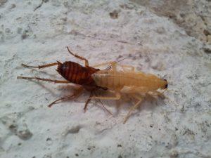 белый-таракан-израиль