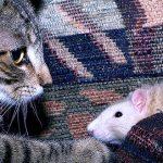 кошки-и-крысы-израиль
