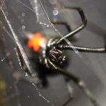 ядовитые-пауки-израиля