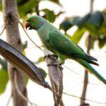 Нашествие индийских кольчатых попугаев