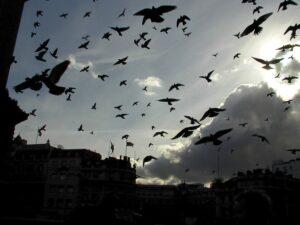 Птицы вредители Израиля